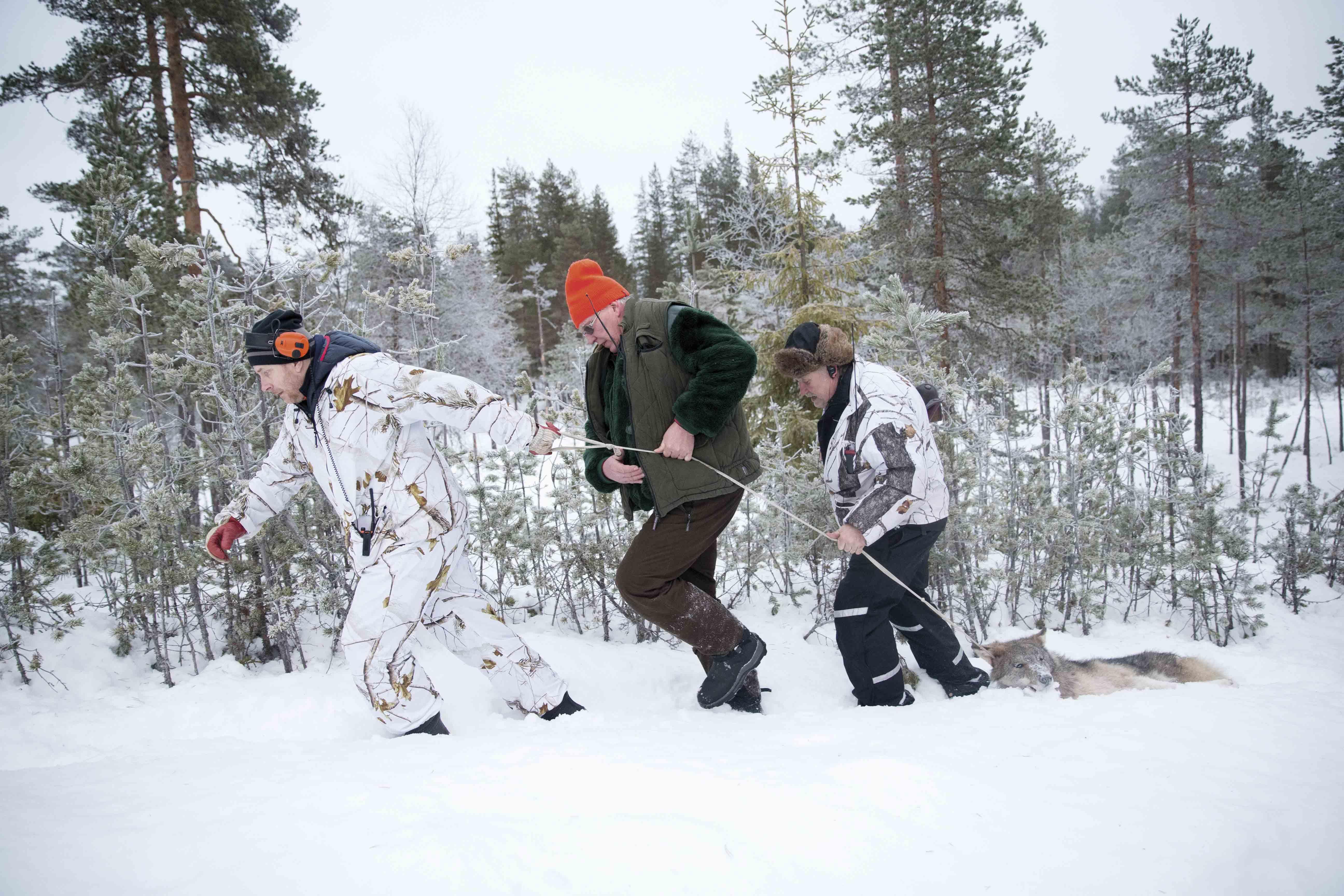På ulvejagt i Sverige