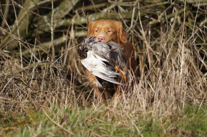 Toller eller Nova Scotia Duck Tolling Retriever
