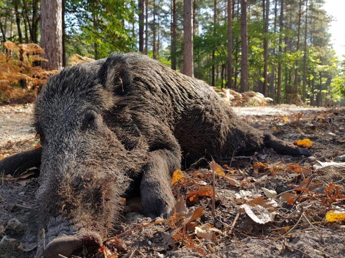 Wild boar fever
