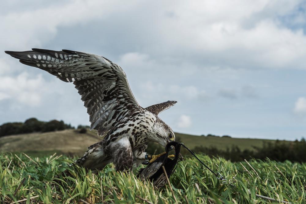 Hvis du har et ønske om at komme i gang med at arbejde med rovfugle til falkejagt, er det faktisk ikke umuligt.