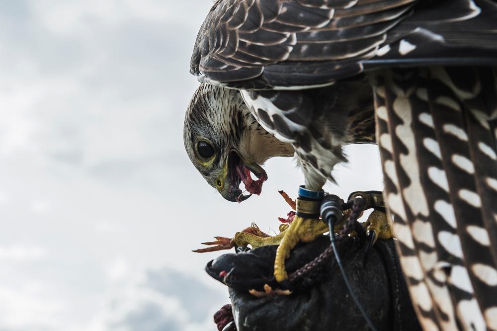 Selv om de danske falkonerer ikke længere må jage med deres fugle i Danmark, er traditionen for falkejagt ikke uddød herhjemme.