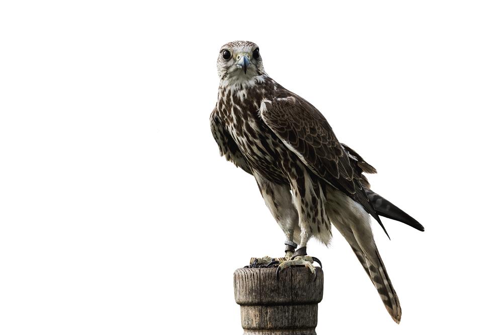 Man mener, at Harald Blåtand også holdt rovfugle til falkejagt.