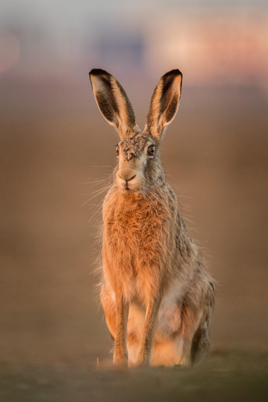 harer