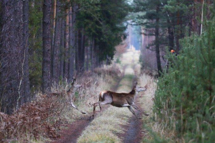Jagt i Polen kan være både drivjagt og pürsch