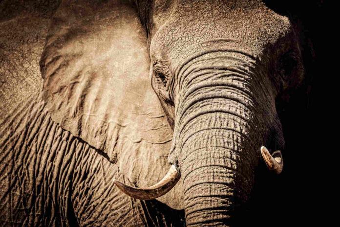 Elefantdød i Botswana