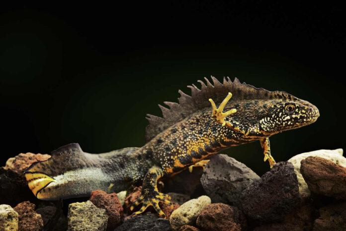Udfordrende engelske salamandre