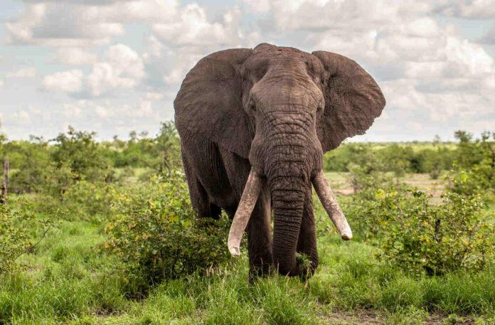elefanttyre