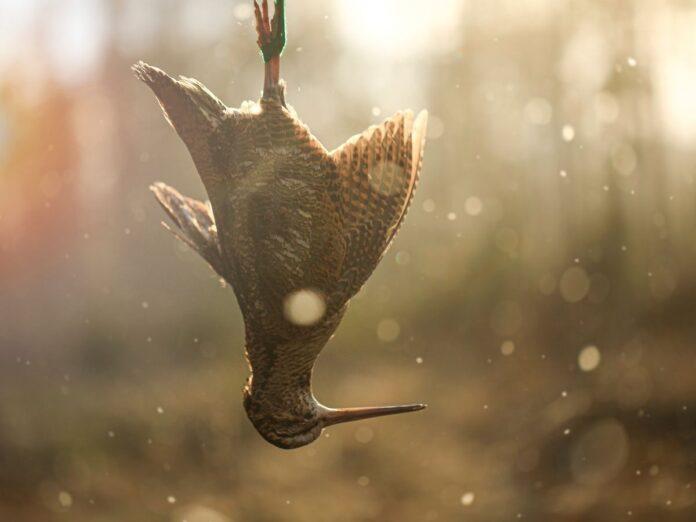 troldfugl