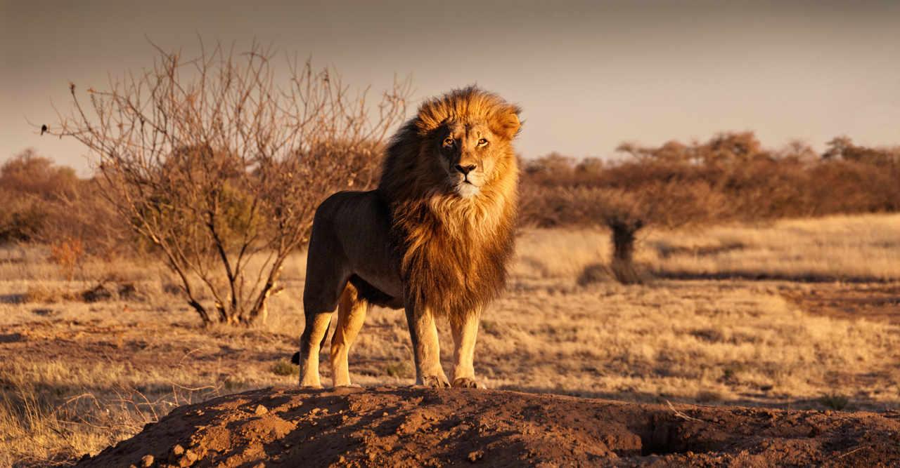 Hanløve i Sydafrika