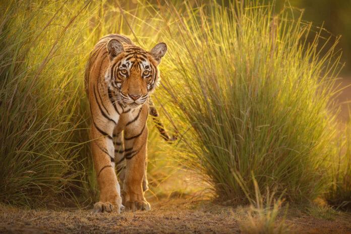 Tiger i indien