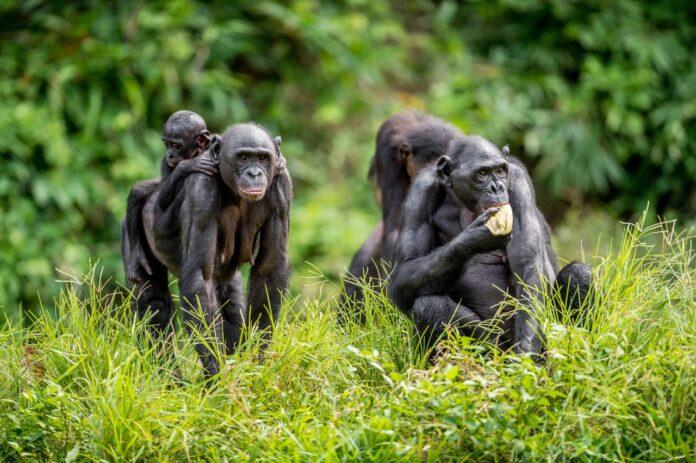 Bonoboer